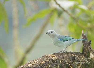 Bird Photograph - Blue-gray Tanager by Dan Suzio