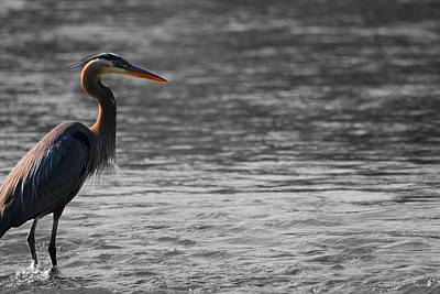 D Wade Photograph - Blue Heron  by Dan Sproul