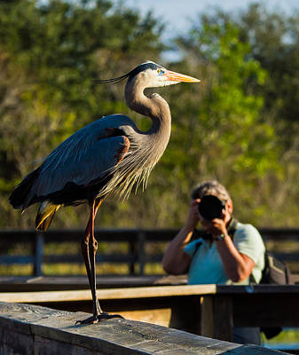 Blue Heron Ready For Its Closeup Print by Andres Leon