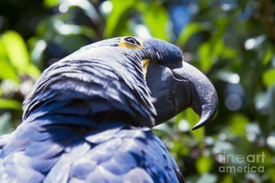 Blue Hyacinth Macaw - Anodorhynchus Hyacinthinus - Kailua Maui Hawaii  Print by Sharon Mau