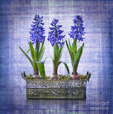Winter Flowers Photograph - Blue Hyacinths by Delphimages Photo Creations