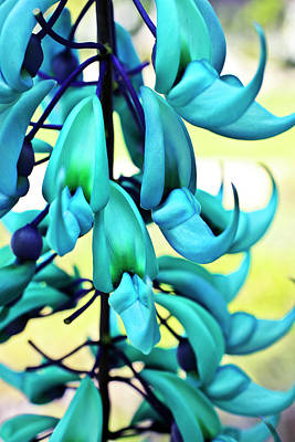 Blue Jade Plant  Hawaii, United States Print by Scott Mead