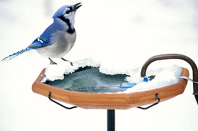 Bluejay Photograph - Blue Jay At Heated Birdbath by Steve and Dave Maslowski