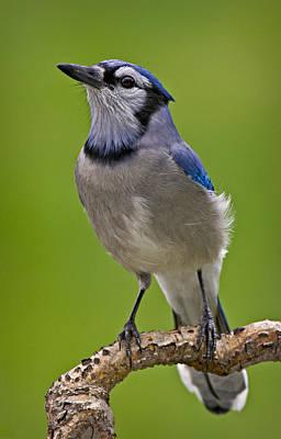 Cyanocitta Cristata Photograph - Blue Jay Bird by Susan Candelario