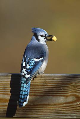 Blue Jay Carrying Peanut Long Island Print by Tom Vezo