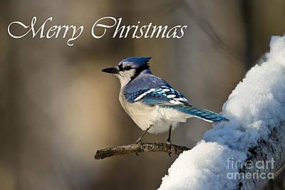 Blue Jay Christmas Card 2 Print by Michael Cummings