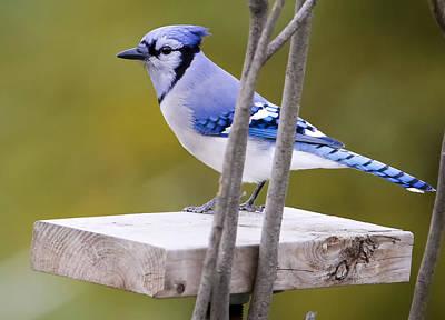Birds Photograph - Blue Jay In Profile by Ricky L Jones