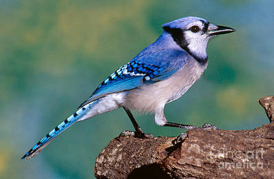 Bluejay Photograph - Blue Jay by Millard H. Sharp