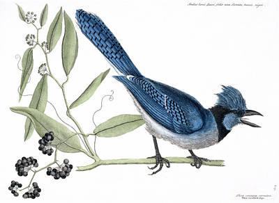 Cyanocitta Cristata Photograph - Blue Jay by Natural History Museum, London