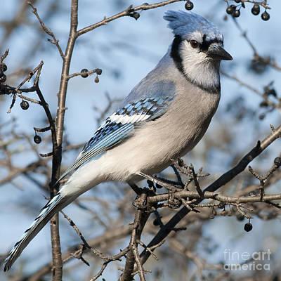 Cyanocitta Cristata Photograph - Blue Jay.. by Nina Stavlund