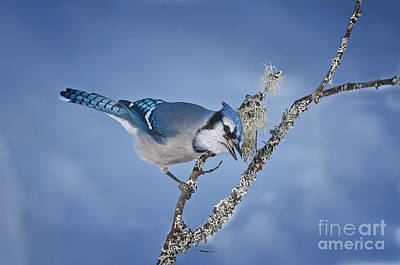 Blue Jay Pictures 356 Print by World Wildlife Photography