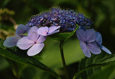 Blue Lacecap Hydrangea Print by Suzanne Gaff