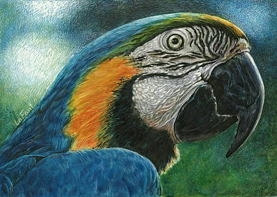 Rainforest Drawing - Blue Macaw by Sandra LaFaut