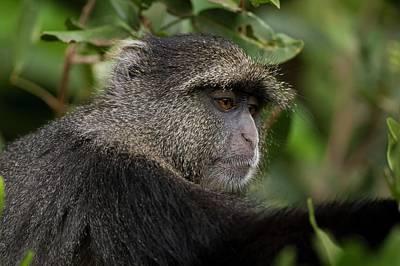 Monkey Photograph - Blue Monkey Cercopithecus Mitis by Photostock-israel
