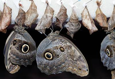 Cocoon Photograph - Blue Morpho Butterflies And Cocoons by Dirk Wiersma