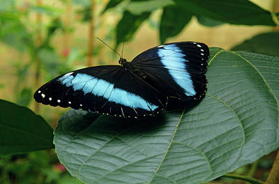 Blue Morpho Butterfly On Leaf Print by Thomas Wiewandt