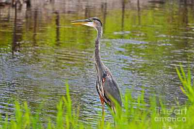 Great Heron Photograph - Blue On The Bank by Al Powell Photography USA