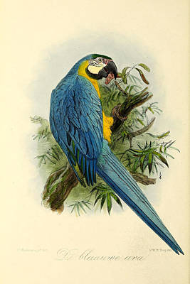 Parrot Painting - Blue Parrot by J G Keulemans