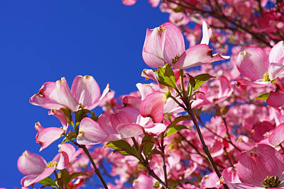 Blue Sky Art Prints Pink Dogwood Flowers Print by Baslee Troutman