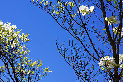 Blue Sky Art Prints Spring Dogwood Flowers Branches Print by Baslee Troutman
