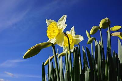 Blue Sky Spring Daffodil Flowers Art Prints Print by Baslee Troutman