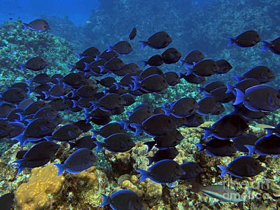 Blue Tangs Print by Carey Chen