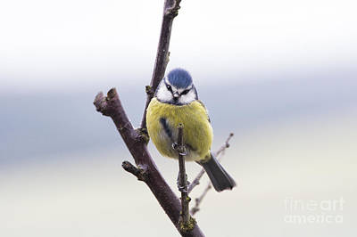 Blue Tit Print by Tim Gainey