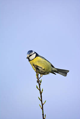 Feed Mixed Media - Blue Tit by Toppart Sweden
