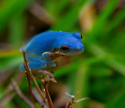 Blue Tree Frog Print by April Wietrecki Green