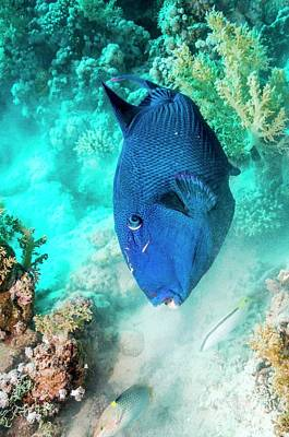 Triggerfish Photograph - Blue Triggerfish Feeding by Georgette Douwma