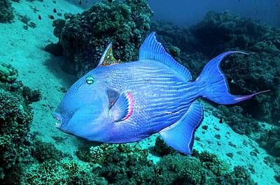 Triggerfish Photograph - Blue Triggerfish On A Reef by Georgette Douwma