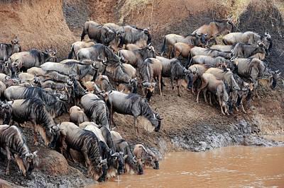 White Beard Photograph - Blue Wildebeest by Bildagentur-online/mcphoto-schulz