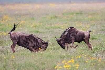 White Beard Photograph - Blue Wildebeest Connochaetes Taurinus by Photostock-israel