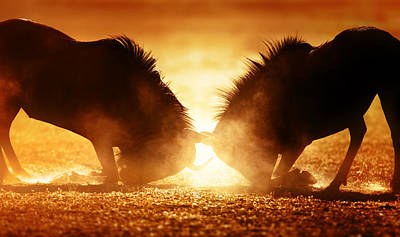 Close Up Photograph - Blue Wildebeest Dual In Dust by Johan Swanepoel