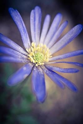 Anemone Photograph - Blue Windflower by Priya Ghose