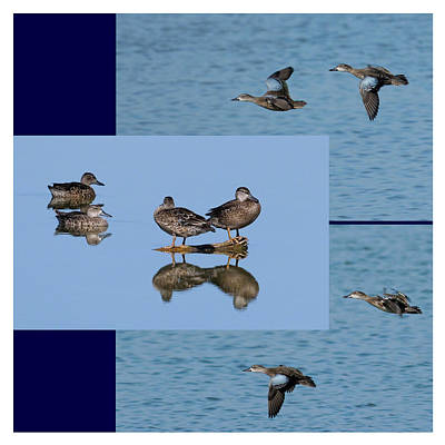 Collage Photograph - Blue Winged Teal by Dawn Currie