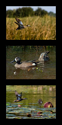 Collage Photograph - Blue Winged Teal Triptyck by Dawn Currie