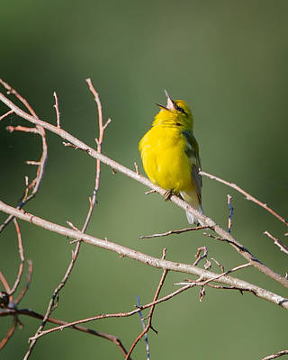 Warbler Photograph - Blue-winged Warbler by Bill Wakeley