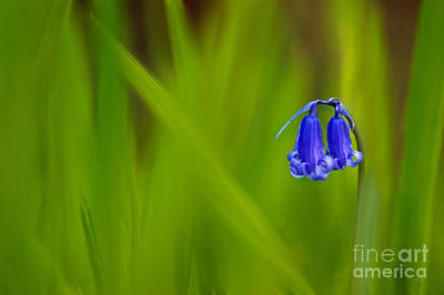 Flora And Fauna Photograph - Bluebell by Janet Burdon