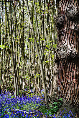 Bluebell Woodland Print by Mark Rogan