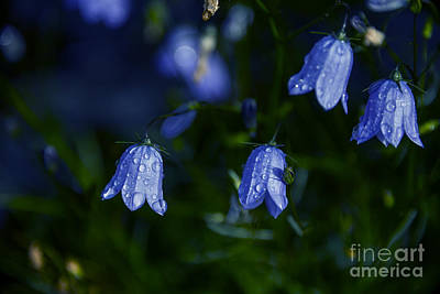Bluebells Photograph - Bluebells In Evening Light by Gry Thunes