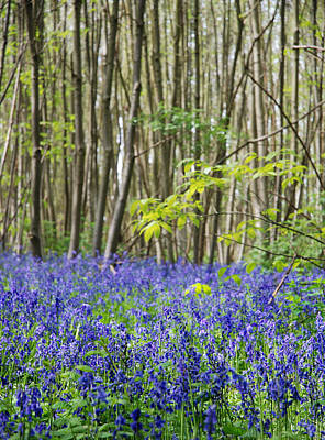 Bluebells Print by Mark Rogan
