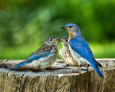 Bluebird Photograph - Bluebird - Father And Sons by Bill Pevlor