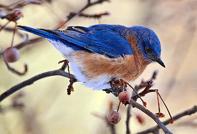 Lovely Photograph - Bluebird by Marcia Colelli