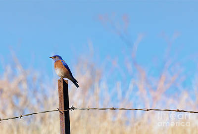 Fence Posts Photograph - Bluebird On A Post by Mike  Dawson
