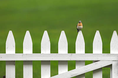 Bluebird On The Fence Print by Bill Wakeley