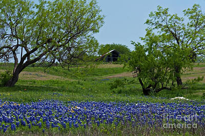 Bluebonnets And Old Barn Print by Lisa Holmgreen