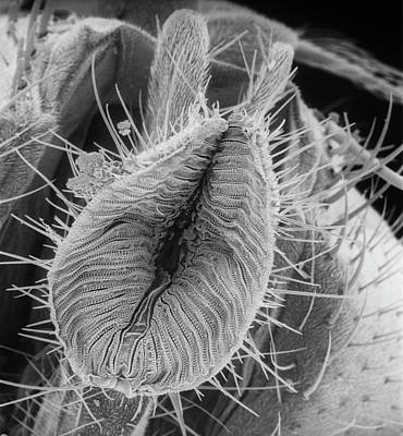 Scanning Electron Microscope Photograph - Bluebottle by Natural History Museum, London
