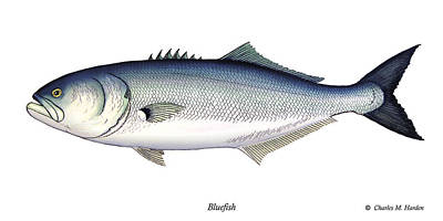 Bluefish Print by Charles Harden