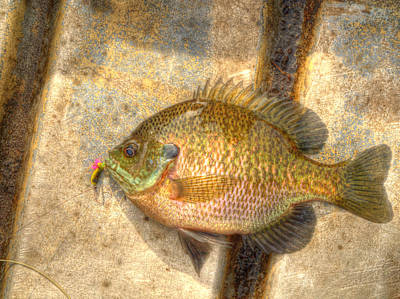 Bluegill In Hdr Print by Thomas Young